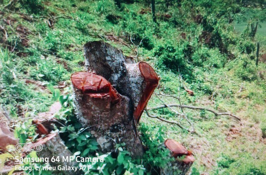 Corte de árvores nativas em propriedade rural de São Pedro do Ivaí