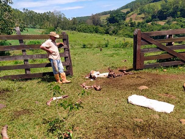Criminosos matam vacas para furtar a carne em Califórnia