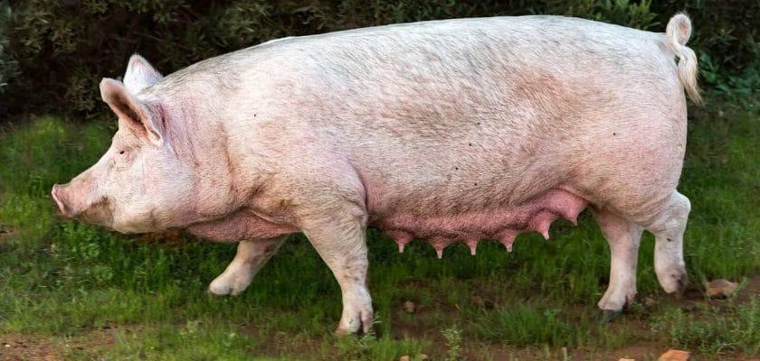 Jovem deixa de pagar por porco e é assassinado no Paraná