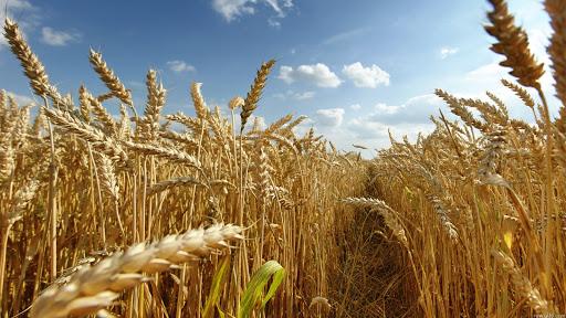 Produtores de trigo na região, aguardam chuvas para o plantio