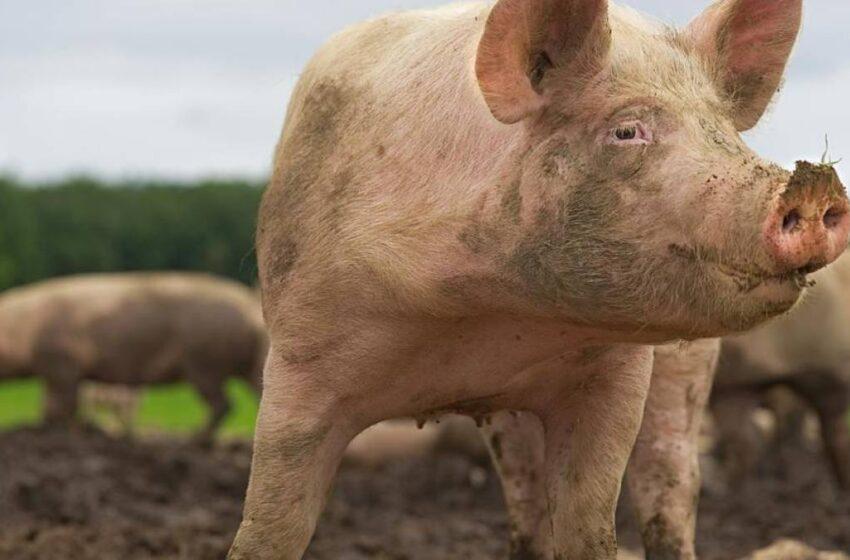 Porcos são furtados pela cerca de propriedade em Marumbi