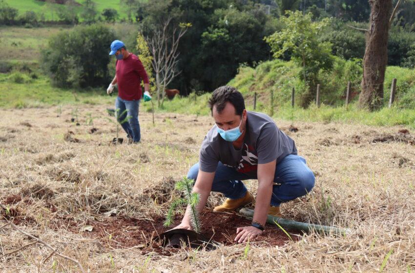 Ivaiporã comemora Dia Nacional da Araucária com 40 plantios da espécie na Mata do Placídio
