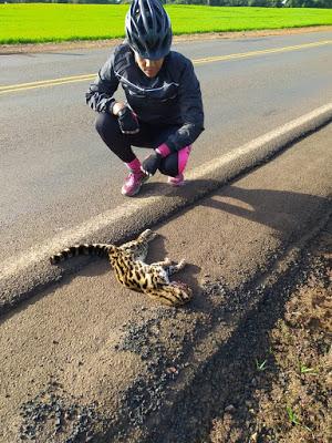 Vereadora encontra filhote de Jaguatirica atropelado na rodovia entre São João do Ivaí e Lunardelli