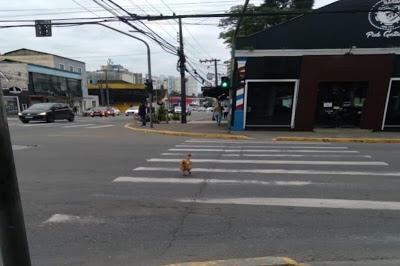 Galinha consciente viraliza após atravessar na faixa de pedestre