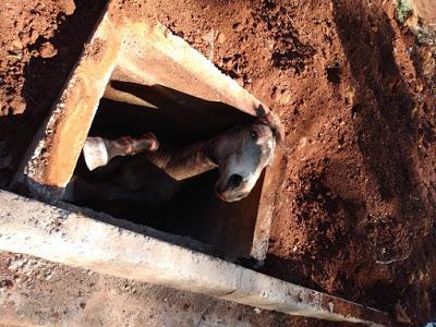 Cavalo cai dentro de bueiro em São Pedro do Ivaí