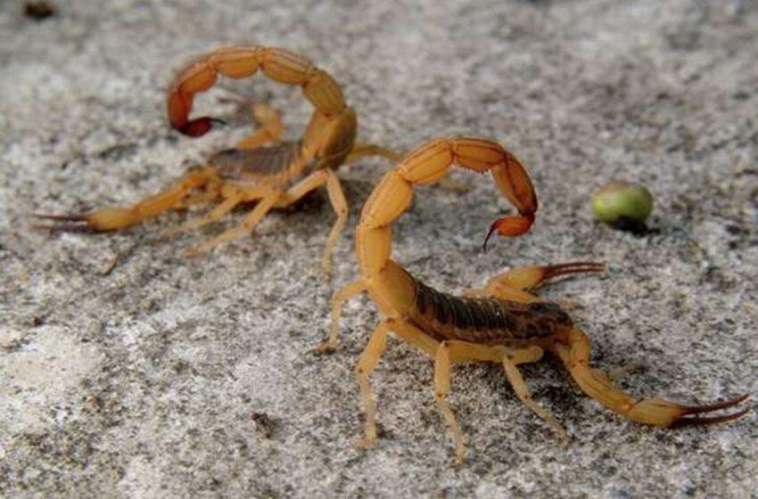 Vigilância Sanitária de Ivaiporã emite alerta para cuidado com escorpião-amarelo na área central